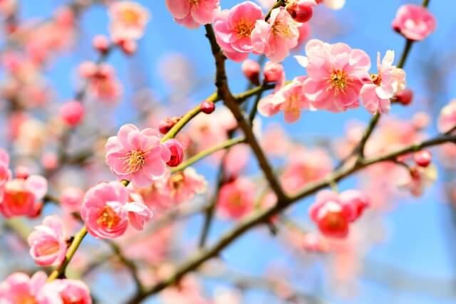 令和に込められた思い。梅の花の歌